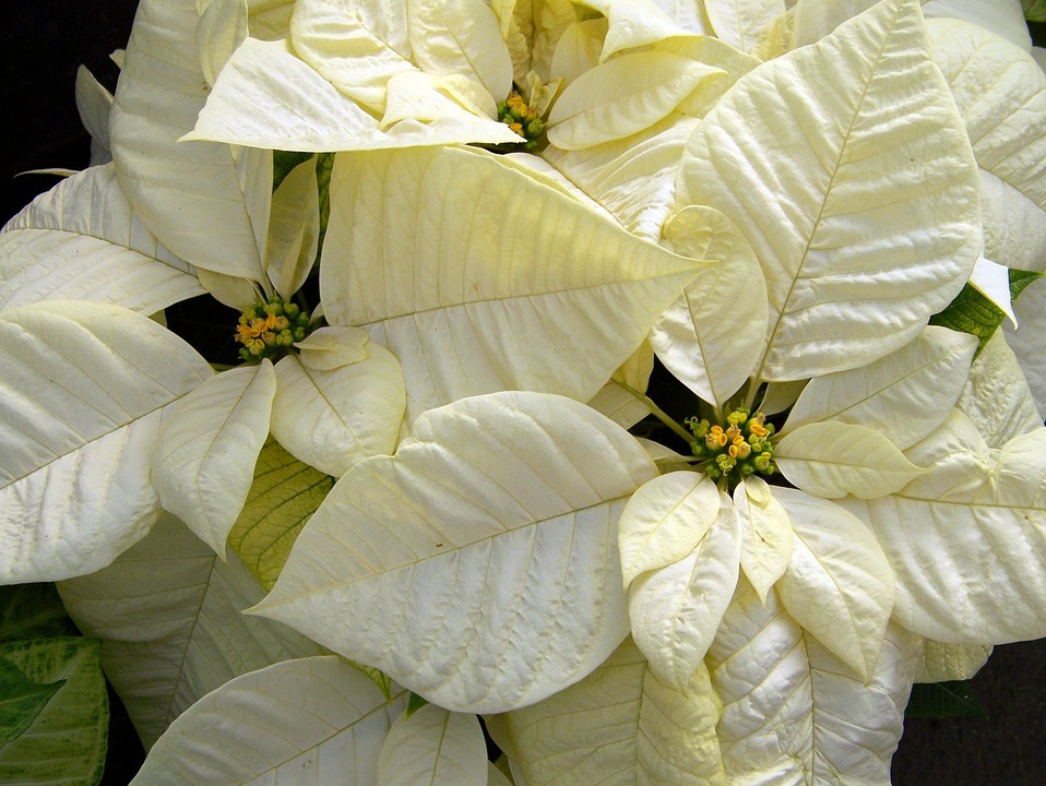 White poinsettia holiday flowers for wedding