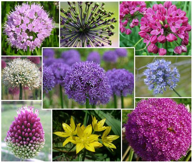 Range of Allium Flower Colors