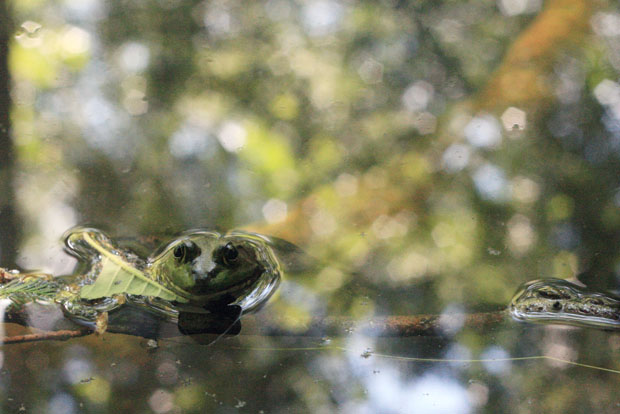 bullfrog at north carolina zoo in asheboro