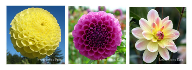 Different Types of Dahlias