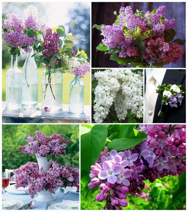 Lilacs IB