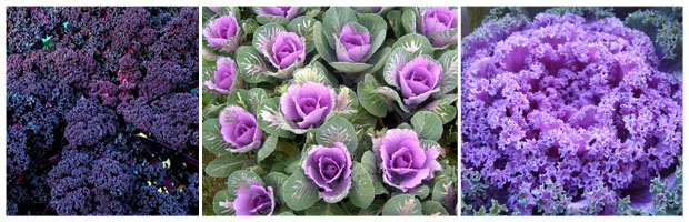 Ornamental Cabbage Types