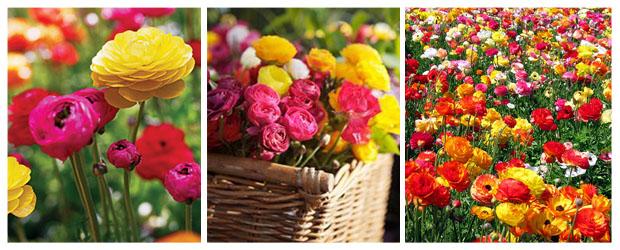 Examples of Ranunculus